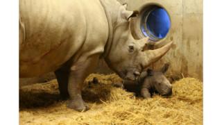Milestone Systems makes newborn rhino an online star