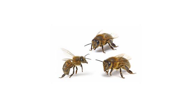 bees.jpg_10531713.jpg