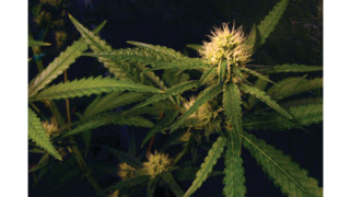 Confronting security challenges posed by legalized marijuana